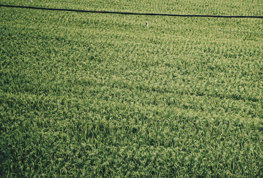 Ricefields Lovina Bali Travel Blog
