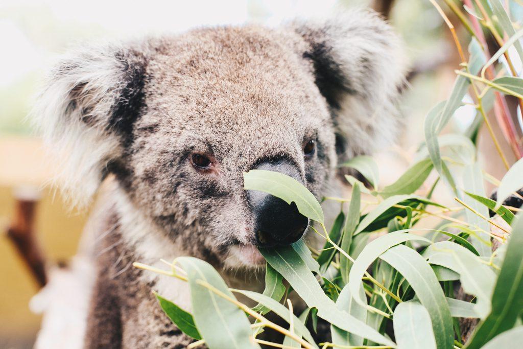 Koala Sanctuary Melbourne Australia Travel Blog